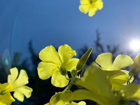 Wood Sorrel「Bermuda buttercup flowers and blue sky」:スマホ壁紙(18)