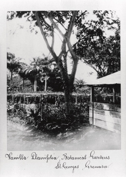 Vanilla「St George?s Botanical Gardens, Grenada, 1897.」:写真・画像(16)[壁紙.com]