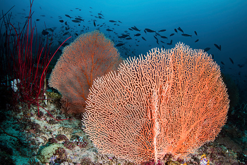 Fan Shape「Sea fans and fish on a coral reef, Raja Ampat, Indonesia.」:スマホ壁紙(3)