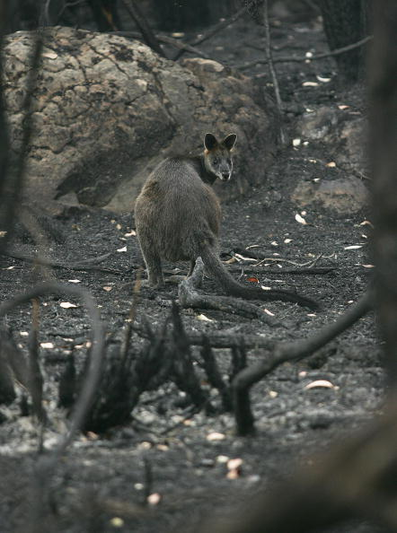 Animal Wildlife「Grampians Bushfire Aftermath」:写真・画像(11)[壁紙.com]