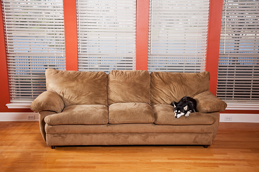 ペット「子犬に、上質のソファー」:スマホ壁紙(7)