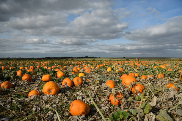 Agricultural Field「Pumpkins Growing In Kent Fields Ahead Of Halloween」:写真・画像(16)[壁紙.com]