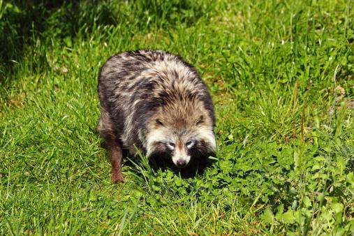 Raccoon「Raccoon dog looking for prey」:スマホ壁紙(12)