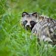 Raccoon dog壁紙の画像(壁紙.com)