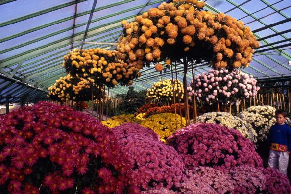 Chrysanthemum「Chrysanthemums」:写真・画像(8)[壁紙.com]