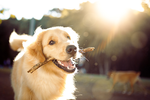 Smiling「Cute happy dog playing with a stick」:スマホ壁紙(2)