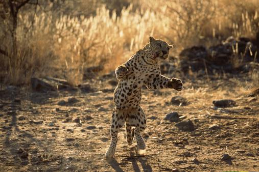 Furious「African leopard on hind legs , Namibia , Africa」:スマホ壁紙(3)