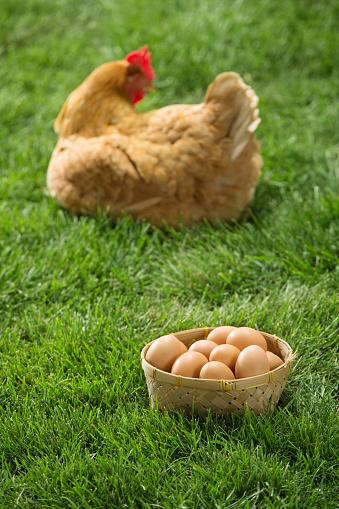 Hen「Hens and eggs」:スマホ壁紙(17)