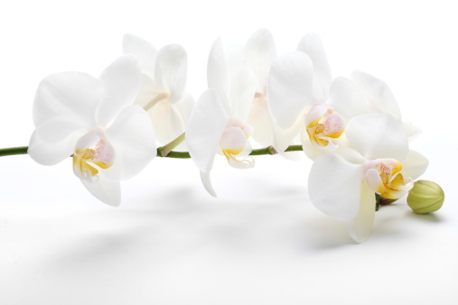 flower「オーキッド、ホワイト」:スマホ壁紙(17)