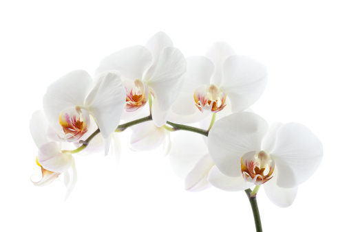 Orchid「Orchid on White」:スマホ壁紙(16)