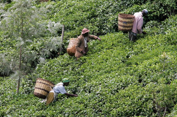 Kenya「Tea Production In Kenya Down By 90 Percent Due To Drought」:写真・画像(14)[壁紙.com]