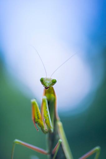 虫・昆虫「European mantis - Mantis (Mantis religiosa), Insectos, Arthropodos, Cantabria, Spain, Europe」:スマホ壁紙(11)