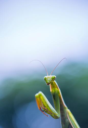 虫・昆虫「European mantis - Mantis (Mantis religiosa), Insectos, Arthropodos, Cantabria, Spain, Europe」:スマホ壁紙(18)