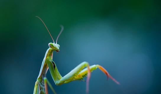 虫・昆虫「European mantis - Mantis (Mantis religiosa), Insectos, Arthropodos, Cantabria, Spain, Europe」:スマホ壁紙(19)