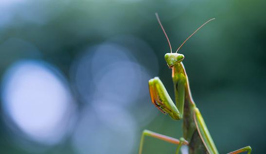 虫・昆虫「European mantis - Mantis (Mantis religiosa), Insectos, Arthropodos, Cantabria, Spain, Europe」:スマホ壁紙(16)