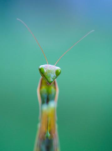 虫・昆虫「European mantis - Mantis (Mantis religiosa), Insectos, Arthropodos, Cantabria, Spain, Europe」:スマホ壁紙(14)