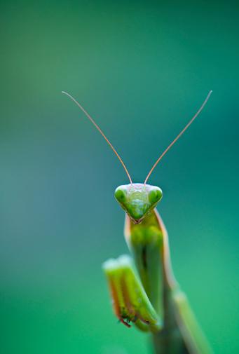 虫・昆虫「European mantis - Mantis (Mantis religiosa), Insectos, Arthropodos, Cantabria, Spain, Europe」:スマホ壁紙(15)