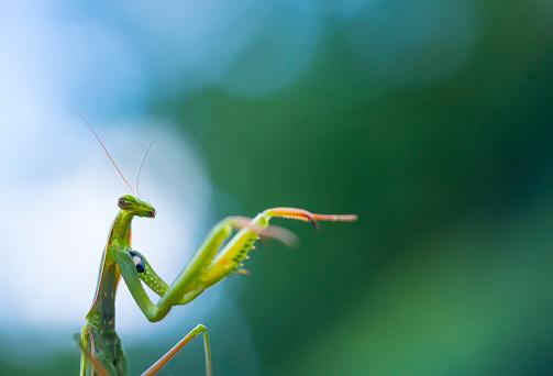 虫・昆虫「European mantis - Mantis (Mantis religiosa), Insectos, Arthropodos, Cantabria, Spain, Europe」:スマホ壁紙(10)