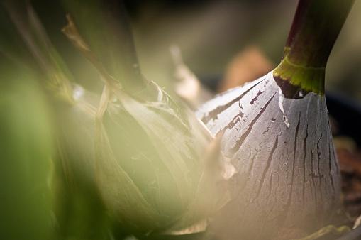 花「Encyclia Orchid Pseudobulbs Close-up」:スマホ壁紙(16)