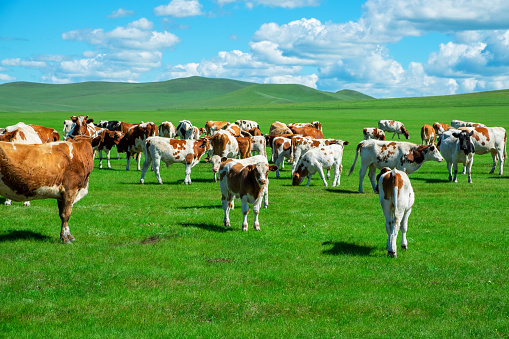 Cattle「Cattle on the grassland in summer」:スマホ壁紙(10)