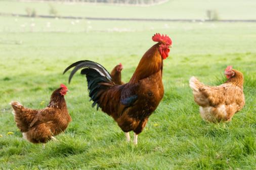 Tim Graham「Free-Range Chickens, Chedworth, UK」:スマホ壁紙(7)