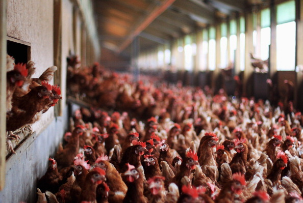 Free Range「Organic Farms Likely To Benefit From Dioxin Scandal」:写真・画像(1)[壁紙.com]