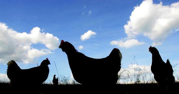 Free Range「Free Range Farmers Weigh Up Bird Flu Threat」:写真・画像(18)[壁紙.com]