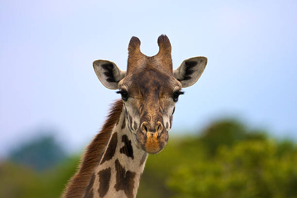 Giraffe portrait, middle range - Version 2:スマホ壁紙(壁紙.com)