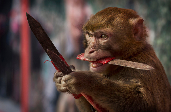 Monkey「Chinese New Year Boosts Monkey Business for Villagers」:写真・画像(19)[壁紙.com]