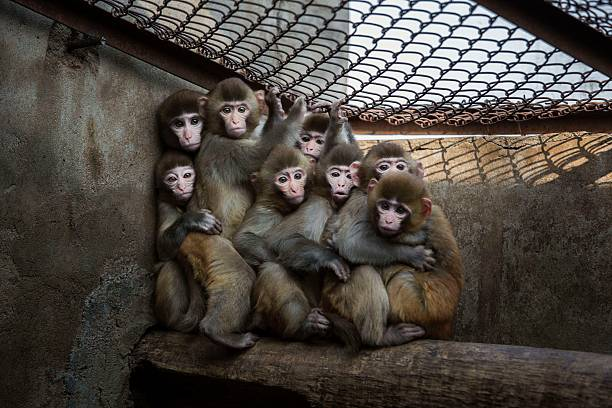 Chinese New Year Boosts Monkey Business for Villagers:ニュース(壁紙.com)