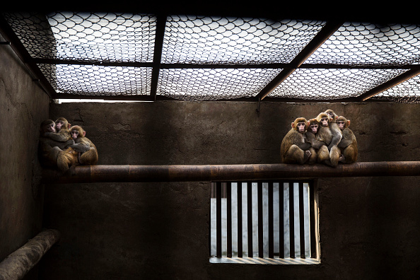 Kevin Frayer「Chinese New Year Boosts Monkey Business for Villagers」:写真・画像(17)[壁紙.com]
