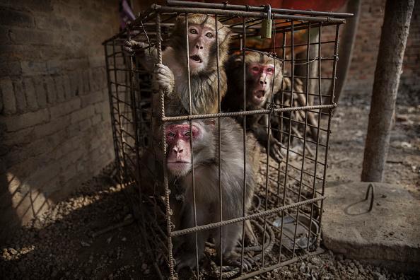 動物「Chinese New Year Boosts Monkey Business for Villagers」:写真・画像(18)[壁紙.com]