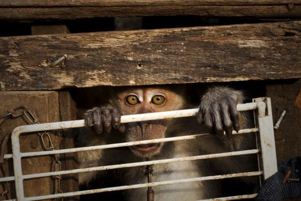 "Monkey「""Topeng Monyet"" - The Masked Monkeys Of Indonesia」:写真・画像(8)[壁紙.com]"