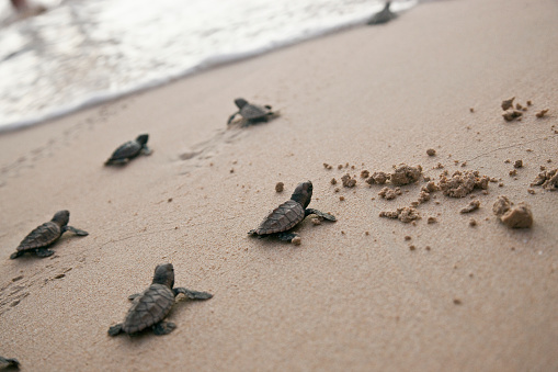 Sea Turtle「Little sea turtles on Barbados west coast beach」:スマホ壁紙(11)