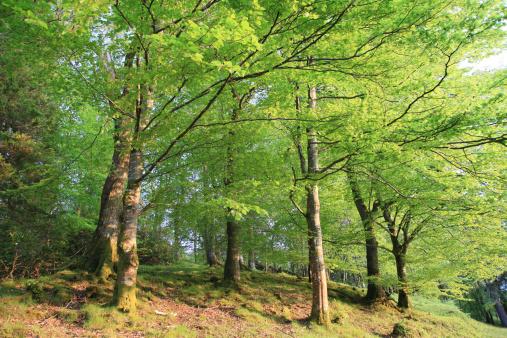 セイヨウカジカエデ「Sunlit spring trees in mixed woodland」:スマホ壁紙(7)