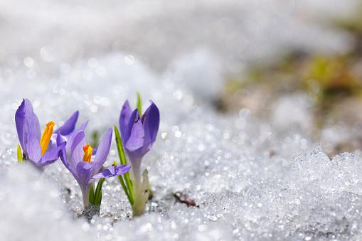 Crocus「Early Spring Crocus in Snow series」:スマホ壁紙(7)