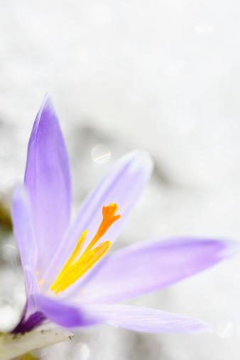 Crocus「Early Spring Crocus in Snow series」:スマホ壁紙(4)
