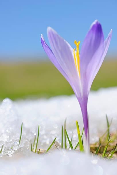 Early Spring Crocus in Snow series:スマホ壁紙(壁紙.com)