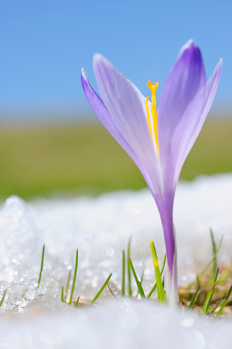 Crocus「Early Spring Crocus in Snow series」:スマホ壁紙(5)