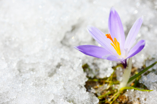 Crocus「Early Spring Crocus in Snow series」:スマホ壁紙(2)
