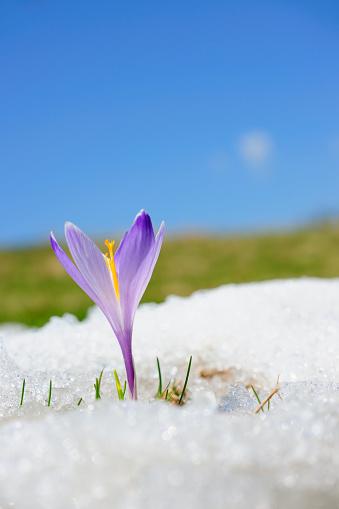 クロッカス「早春クロッカスの雪シリーズ」:スマホ壁紙(5)
