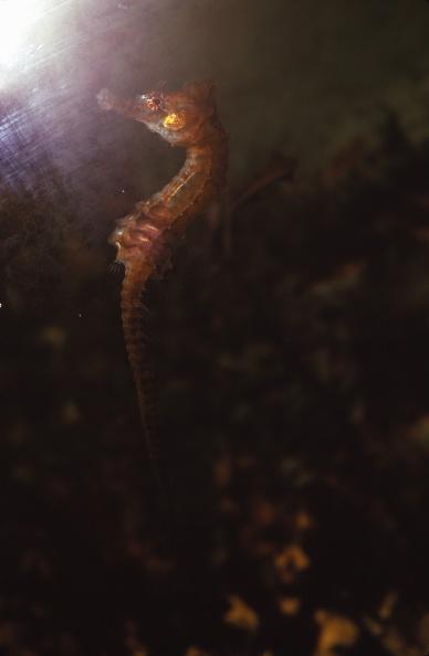 魚・熱帯魚「Seahorse」:写真・画像(17)[壁紙.com]