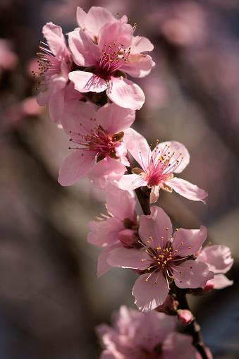 Peach「Peach Tree Blossom」:スマホ壁紙(3)