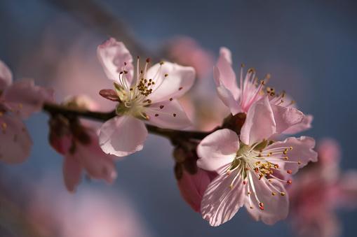 Peach「Peach Tree Blossom」:スマホ壁紙(4)