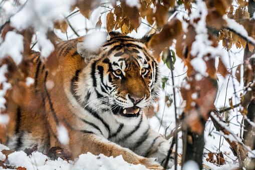 Animals Hunting「Tiger in ambush」:スマホ壁紙(9)