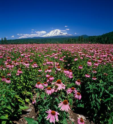 アダムス山「Echinacea Crop with Mount Adams in Background」:スマホ壁紙(10)