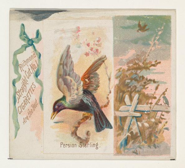 Songbird「Persian Starling」:写真・画像(5)[壁紙.com]