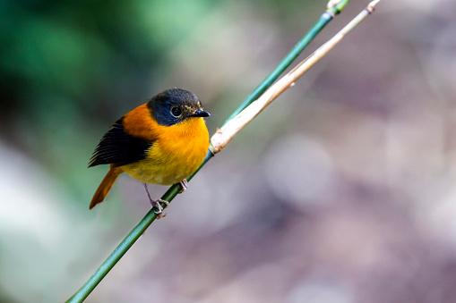 Dethan Punalur「Black and orange flycatcher」:スマホ壁紙(11)