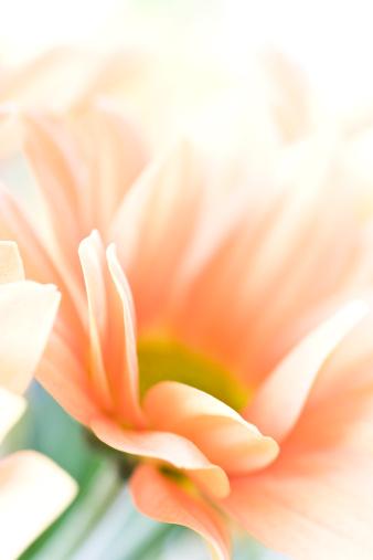 パステル「マクロの菊」:スマホ壁紙(17)