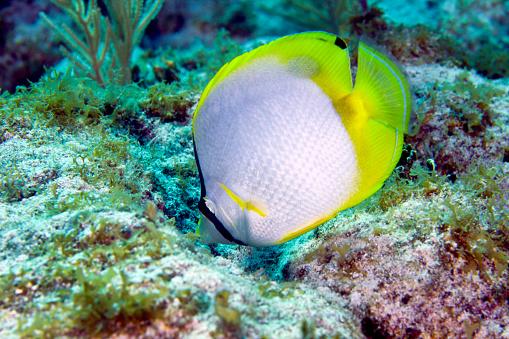 Butterflyfish「A Spotfin Butterflyfish feeding off the coral reef, Key Largo, Florida.」:スマホ壁紙(13)